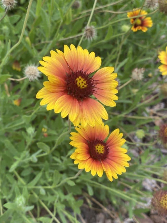 Gaillardia or blanket flower